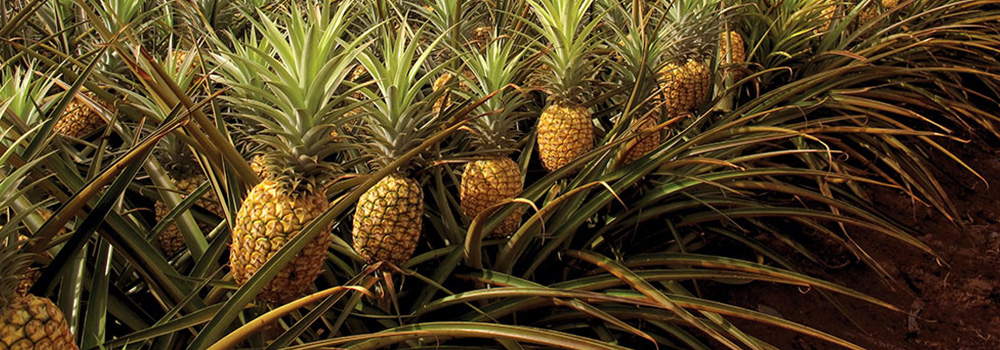 How To Grow A Pineapple Tree Fabric Pots Air Pruning Pots For